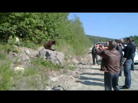 Brown bear cub in a suburb of Magadan (видео)