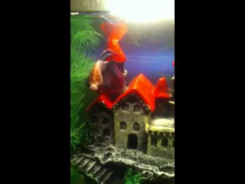 my betta fish
