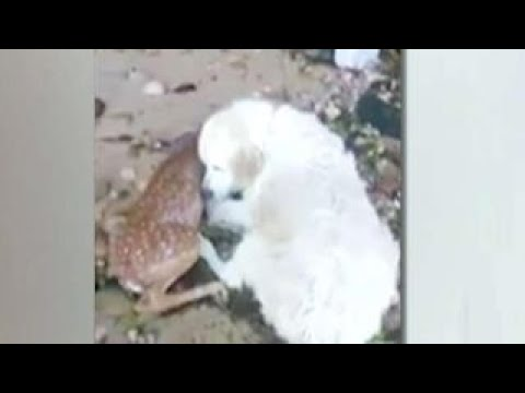 Incredible video shows dog rescuing a young deer