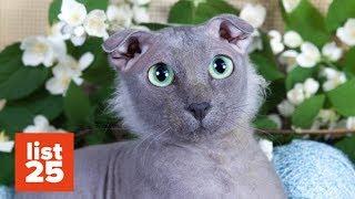 Video 25 Most BIZARRE Cat Breeds Ever MP3, 3GP, MP4, WEBM, AVI, FLV Juli 2018