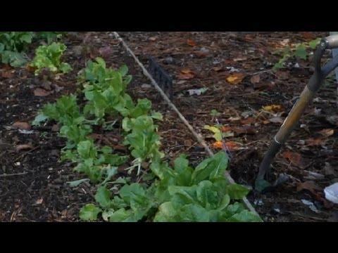 How to Remove & Transplant Raspberries : Berry Gardening, Fertilizers & Vegetables