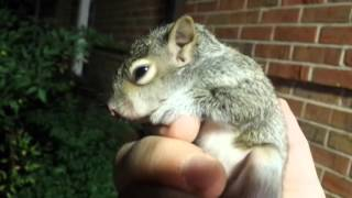 Hurt Baby Squirrel Rescue! So Cute, Must see