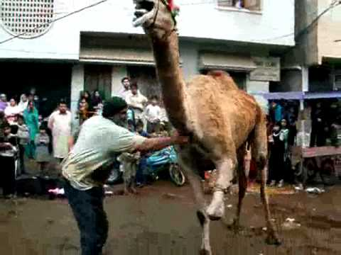camel qurbani - Camel Qurbani, Eid Ul Azha Qurbani.
