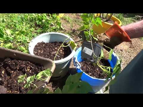 Sweet Potato Container Start - Part 2
