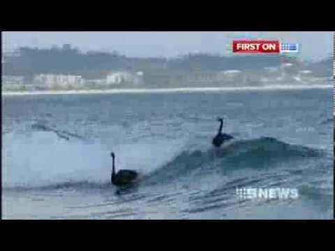 Surfing Swans!
