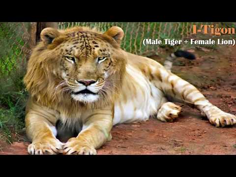 Liger Facts  Big Cat Rescue
