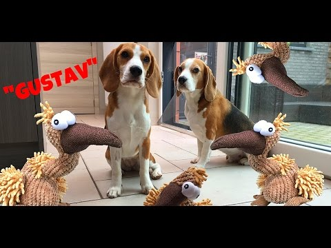 beagle vs gustav! funny movie