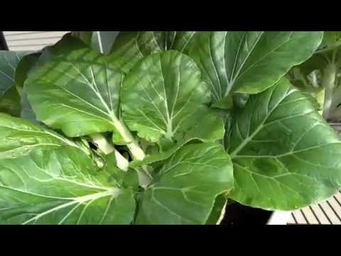 how to harvest bok choy