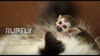 An adult cat has adopted a baby squirrel monkey in Tyumen, with footage showing them enjoying each other's company on Thursday. The little monkey, born recen...
