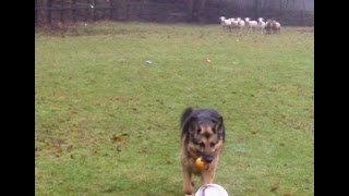 GSD Zoe playing football in the field with the sheep.