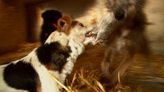 Fast action ratting with terriers