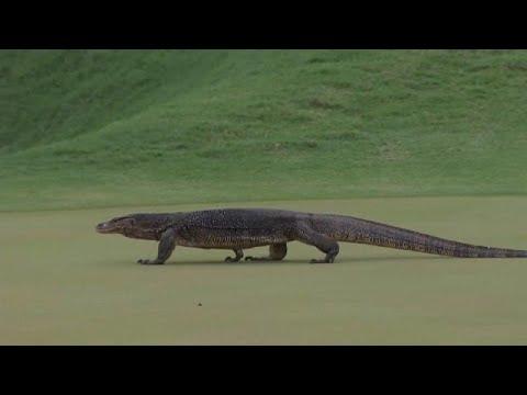 Σαύρα φανατική με το… γκολφ