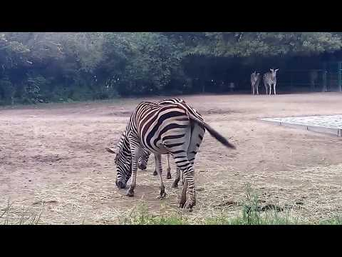 Chapman Zebras - Tierpark Berlin - September 2017