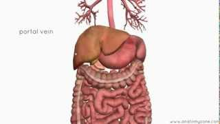 Introduction To The Digestive System Part 4 - Accessory Organs - 3D Anatomy Tutorial