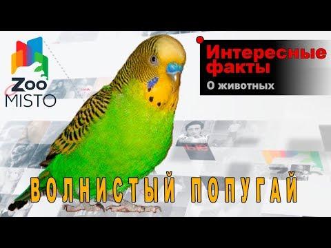 Волнистый попугай - Интересные факты о виде птиц