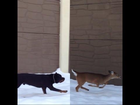 Rottweiler Chase Deer