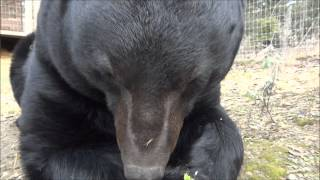 Video Lucky the bear eating his breakfast November 21, 2012 MP3, 3GP, MP4, WEBM, AVI, FLV Agustus 2017