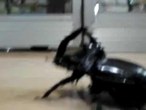 Kumbang Raksasa Versi Buntok