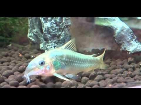 熱帯魚図鑑75 コリドラスイルミネータス(Corydoras sp . cf . aeneus) 輝かしい体色 花園教会水族館