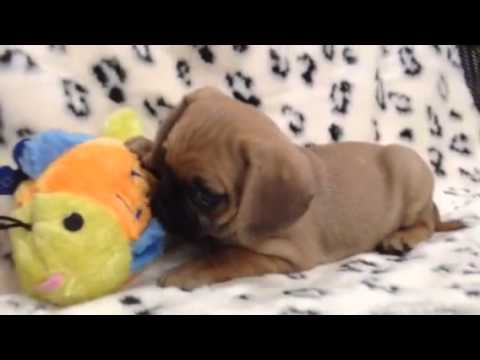 Sweet And Spunky Puggle Puppy!