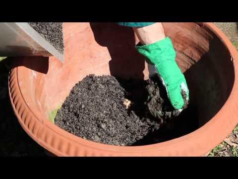 coltivazione zenzero in vaso