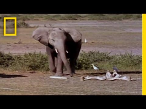 Elephants Mourning | National Geographic (видео)