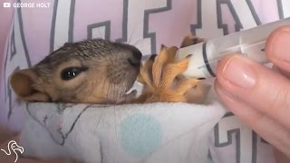 These baby squirrels were raised by a nice couple after they fell from their nest. Best parents ever. Video by: Emily Watson Love animals? Watch more videos ...