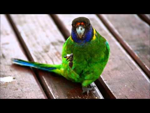 Australian Ringneck parrot, Seagulls