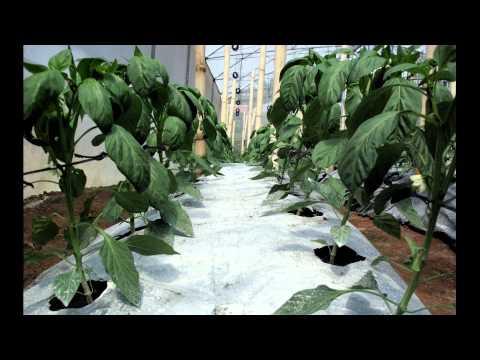 Poda del pimiento videos videos relacionados con poda for Cultivo pimiento huerto urbano