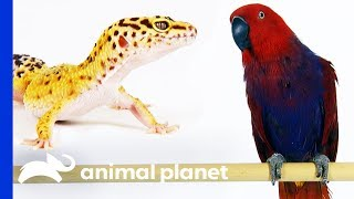 Would You Rather Own A Gecko Or A Parrot? | Pets 101 by Animal Planet