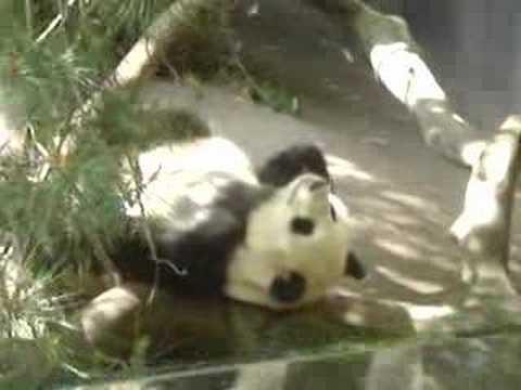 lazy panda - Panda taking a nap at the world famous San Diego Zoo.