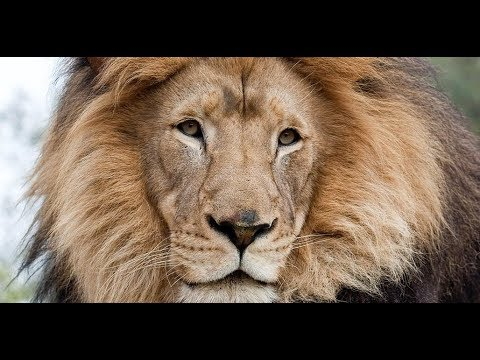Lions | National Geographic, Nature Documentary [HD]