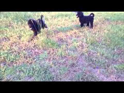 Black Torbec Large Standard Poodles