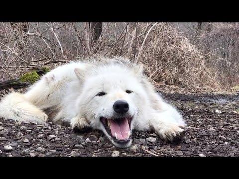 Väsynyt susi ei meinaa jaksaa ulvoa