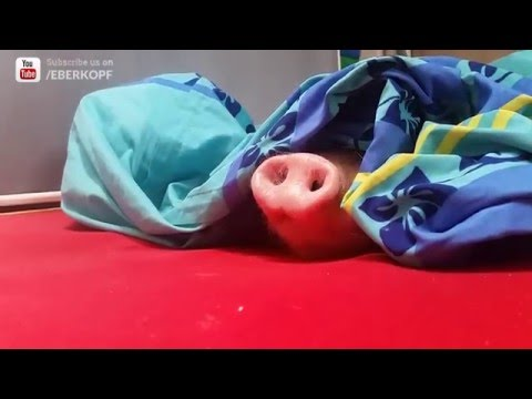 Pig in a Blanket Gets Woken Up with Cookie