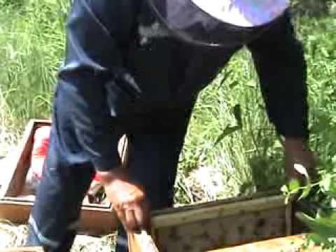 когда можно ловить рой пчел видео