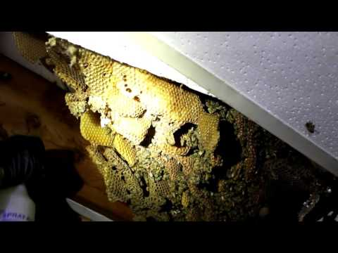 Watch How A Guy Removes A Wild Infestation Of