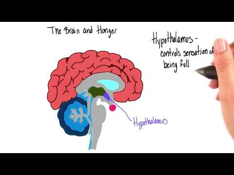Brain and hunger - Intro to Psychology