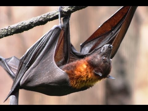 briczar22 - MEGABAT! Flying Fox -- Species Spotlight Check out one of the largest bats in the world! Bats are not to be feared but rather respected as an important creat...