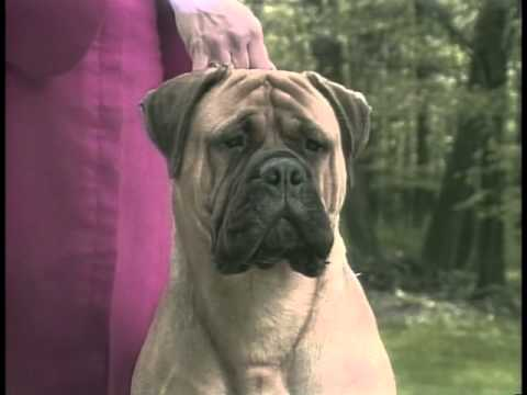 Bullmastiff - AKC Dog Breed Series