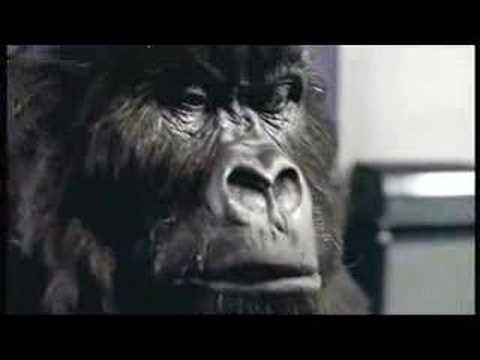Gorilla - Cadburys 2007 advert featuring Gorilla / Ape. Watch as the Gorilla feels the air. See the expressions as the Gorilla prepares for the moment and watch as it ...
