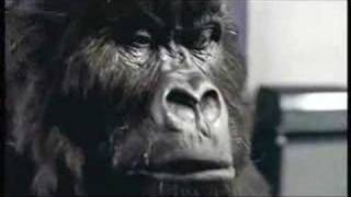 Cadburys 2007 advert featuring Gorilla / Ape. Watch as the Gorilla feels the air. See the expressions as the Gorilla prepares for ...
