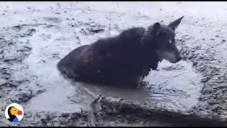 Dog SINKING in Thick Mud RESCUED | The Dodo