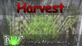 Harvest: Beyond Dreams in RDWC by  NVClosetMedGrower