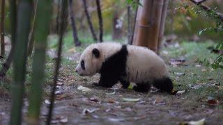 Тренируйся как панда: уроки спорта от бамбуковых медведей