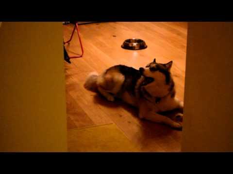 litigio tra un husky e il suo padrone