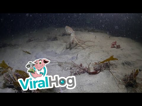 本來章魚生死對決螃蟹的結果已經出爐,卻沒想到下一秒竟然出現了…