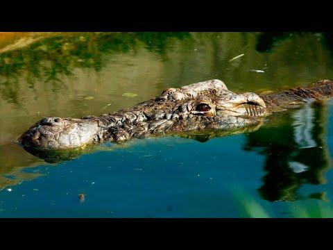 Krokodilalarm wegen Jahrhundertflut im australischen  ...