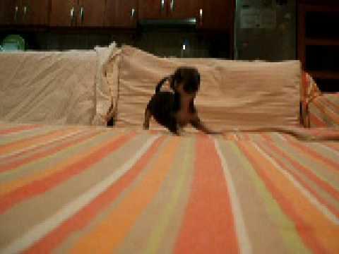 Chihuahua Cachorro Jugando (Trufa 3 meses)