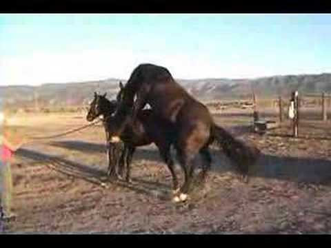 parittelu - two horses mating funny its sexy time.